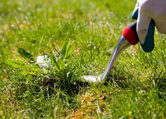 crabgrass on lawn