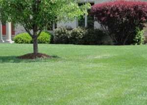 kentucky bluegrass lawn